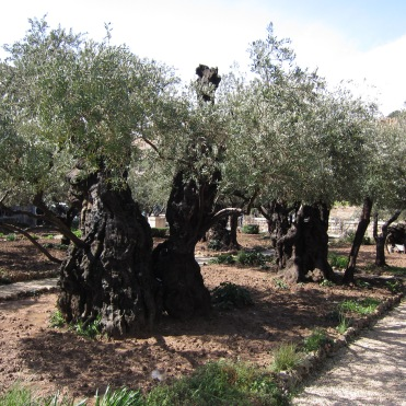 Garden of Gethsemane (Mount of Olives)