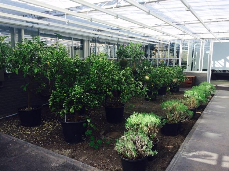 Lemons, Limes and Mandarins in the 'orange grove'