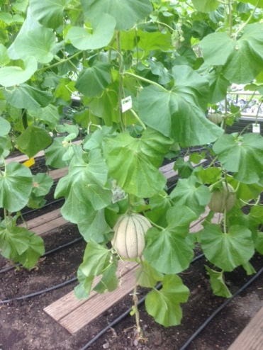 Melons growing in the greenhouse