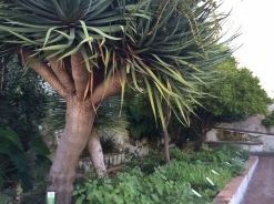 Herbs and Palms in the Medical Garden at Salerno