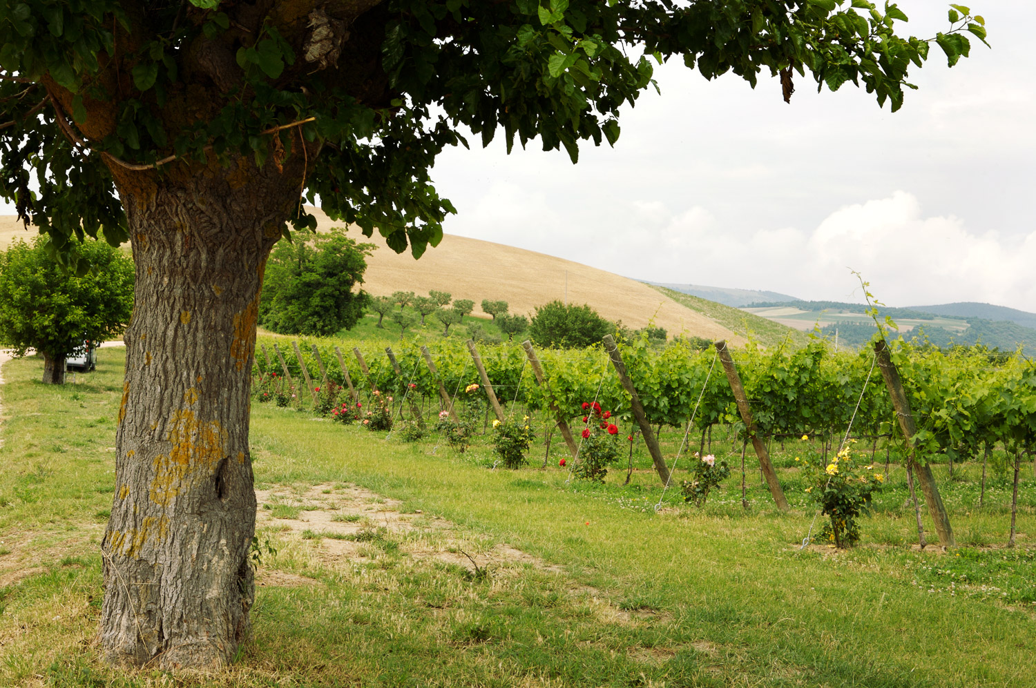 A typical Le Marche vineyard with roses at the end of each line of vines