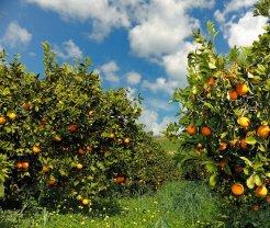 Orange and Lemon Groves - Sicilia