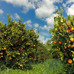 Orange and Lemon Groves - Sicilia