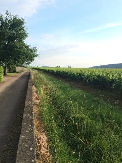 Vineyards border the little town