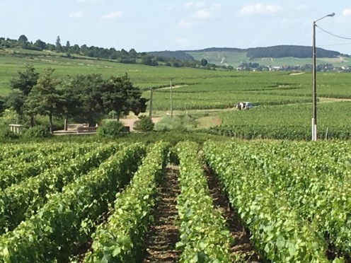 Vines planted in rows - Puligny Montrachet