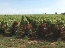 Roses act as the guardians of the vines