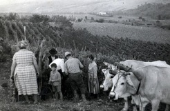 The family selects the grapes