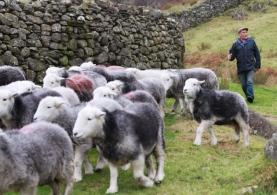 Glenn Wilkinson herds his flock of Herdwick sheep