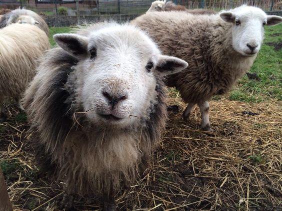 An enquiring Herdwick Sheep