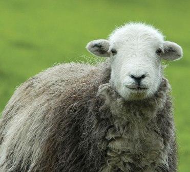 Herdwicks are curious sheep!