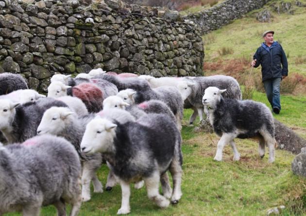 Herdwick Sheep - English Lake District