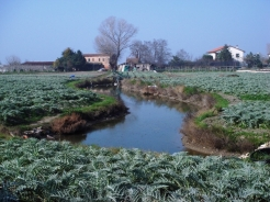 Carciofi grow in the fields on Sant'Erasmo