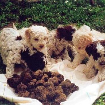 The Lagotto Romagnolo dogs are the perfect breed for truffle hunting.