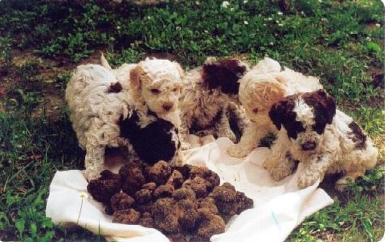 the-famous-truffle-dogs-typically-lagotto-romagnolo-breed