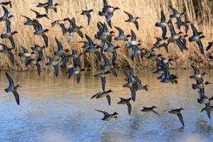 Ducks in flight - Venetian Lagoon, Italy