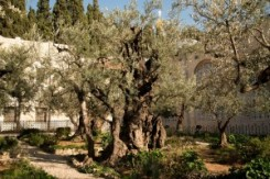 The Ancient Olive Groves of Palestine provide the essential ingredient of olive oil, for making the soap