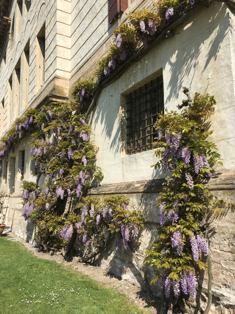 Villa Malcontenta - wisteria in May